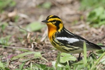 Blackburnian warbler (photo by Brittany Rowan)