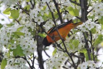 Baltimore oriole (Photo by Brittany Rowan)