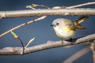 Female American redstart (photo by Paul Bigelow)