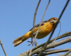 Baltimore oriole carrying nest material (Photo by Dave Denk instagram = dddave226)