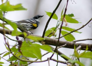 Yellow-rumped warbler (photo by Brittany Rowan)