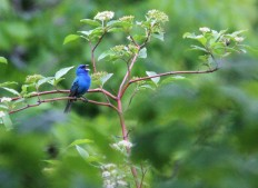 Indigo bunting (Photo by Brittany Rowan)