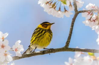 Cape May warbler (photo by Paul Bigelow)