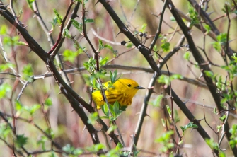 Yellow warbler (photo by Brittany Rowan)