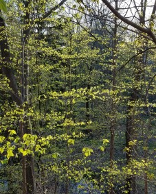 Upland forest trees starting to leaf-out.