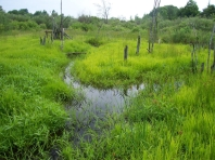 Return to a vibrant green landscape - lush growth in wetlands