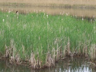 Green new growth of cattails is overtaking last year's brown stem remnants
