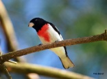 Rose-breasted grosbeak (photo by Tim Baird)