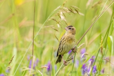 Female bobolink (Photo by Paul Bigelow)