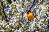 Baltimore oriole (photo by Paul Bigelow)