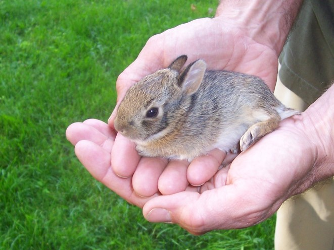 Young cottontail (photo by Kristen Rosenburg)