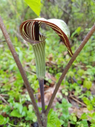 Jack-in-the-Pulpit is starting to flower