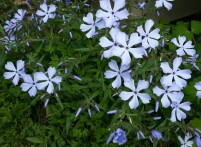 Common blue phlox is now blooming