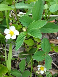 Wild strawberry blossoms