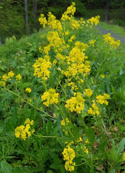 Yellow rocket (AKA winter cress) flowers transforms some fields to yellow