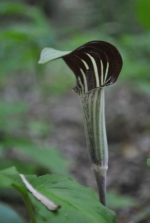 Jack-in-the-Pulpit starting to bloom (photo by Brittany Rowan)