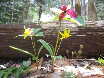 Red trillium & yellow trout-lily are still blooming abundantly