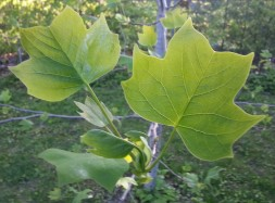 Tulip poplar leaves are about 3/4 grown
