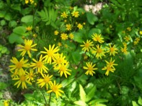 Golden ragwort, the earliest aster to flower