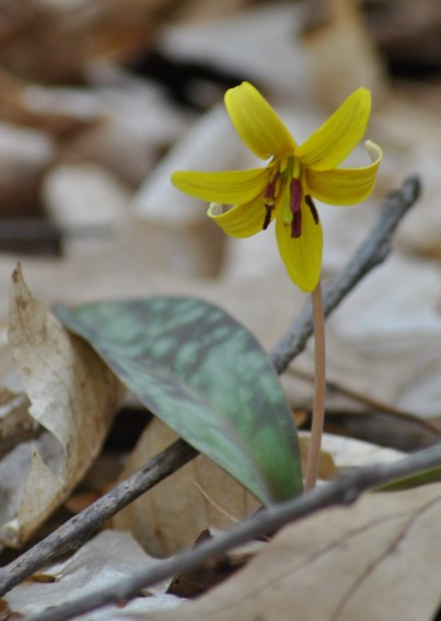Yellow trout-lily (photo by Brittany Rowan)
