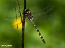 02_Insects_Delta-spotted Spiketail_Jeremy Martin