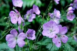05A_Plants_Wild Geranium_Lon Myers
