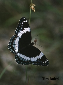09A_Insects_White Admiral_Tim Baird