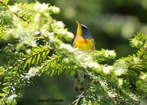 11_Birds_Northern Parula_DSC_0345_DxO_David Crowe