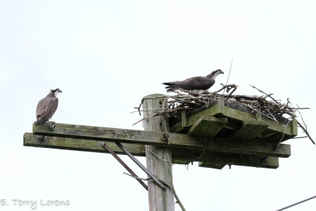 11_Birds_Osprey_Terry Lorenc