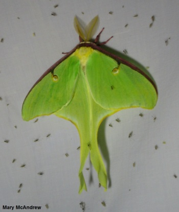 19_Insects_Luna Moth resz_Mary McAndrew