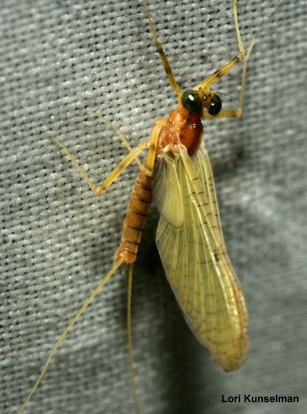 19_Insects_Mayfly_Lori Kunselman