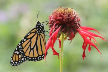 Monarch (photo by Brittany Rowan)