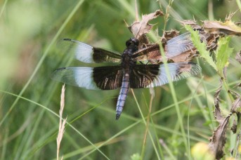Widow Skimmer (photo by Brittany Rowan)