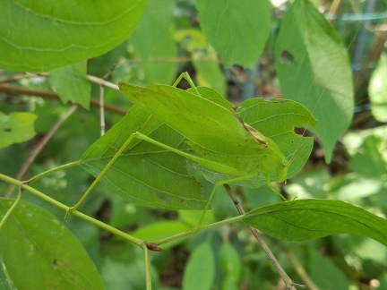 Oblong-winged Katydid (can you spot it?)