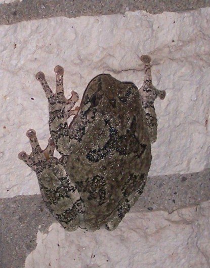 Gray Tree Frog clinging with suction cup toes to brick