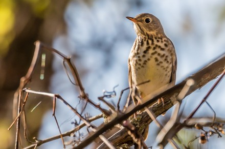 Swainson's Thrush (photo by Paul Bigelow)