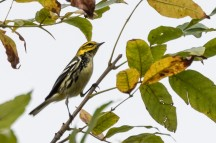 Black-throated Green Warbler (photo by Paul Bigelow)