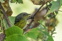 Magnolia Warbler (photo by Paul Bigelow)