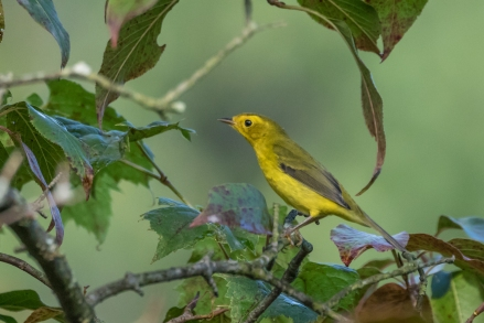Wilson's Warbler (photo by Paul Bigelow)