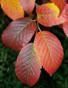 American hornbeam fall color