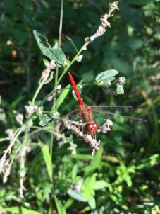 Ruby or autumn meadowhawk (photo by Brittany Rowan)