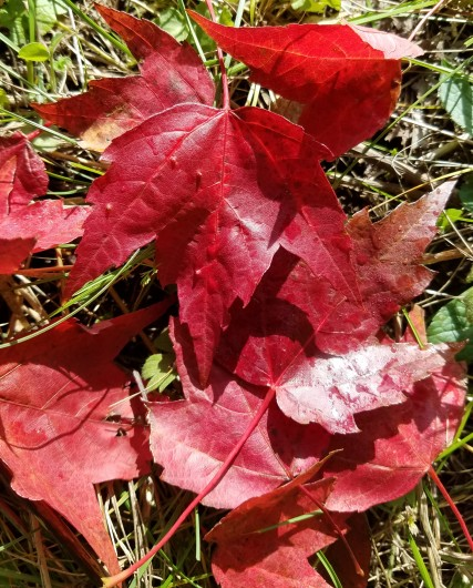 Red maple leaves on ground