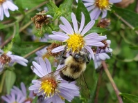 Bumble bee visiting crooked-stem aster