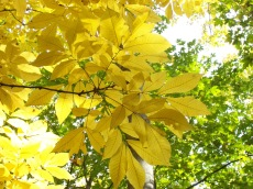 Shagbark hickory in fall color