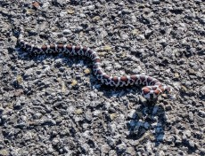 Eastern milk snake sunning itself (photo by Jacquie Walters)