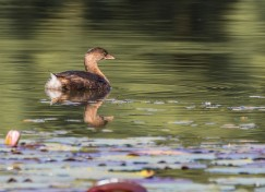 Pied-billed grebe (photo by Paul Bigelow)