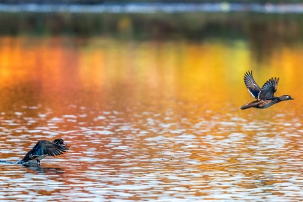 Wood ducks taling flight (photo by Paul Bigelow)