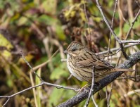 Lincoln's sparrow (photo by Paul Bigelow)