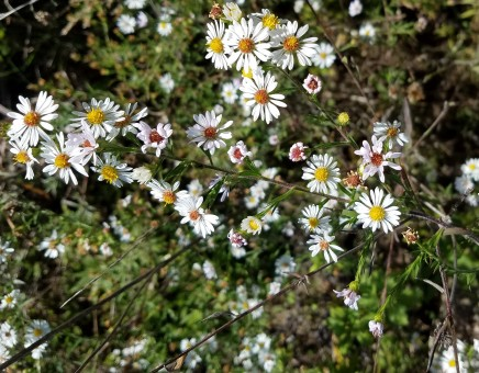 One of several species of white aster