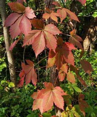 Virginia creeper in fall color